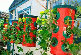 9 вариантов посадки для выращивания клубники, от которых урожай будет ведрами