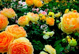 Потрясающе красивые и зимостойкие сорта плетистых роз