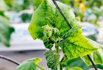 Уксус избавит ваши растения от тли за один прием