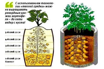 Картофельное поле в бочке: минимум места и максимум урожая