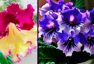 Стрептокарпус: выращивание в домашних условиях, уход и размножение