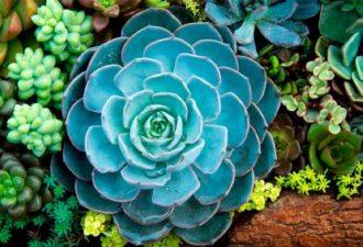 Растение каменный цветок (каменная роза)