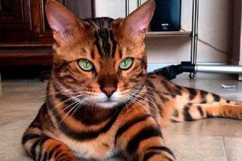 Знакомьтесь, бенгальский кот по кличке Тор с идеально красивой шерсткой