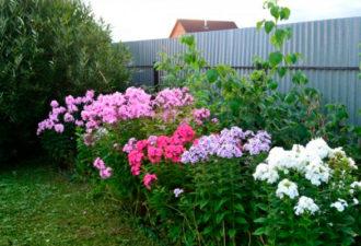 Время готовить флоксы к зиме, чтобы они отблагодарили пышным цветением. Секреты садовода