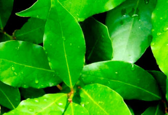 17 болезней, которые лечит обычная «лаврушка»