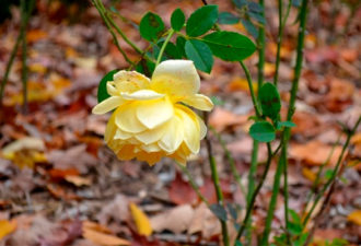 Осенний уход за розой: 10 «нельзя»