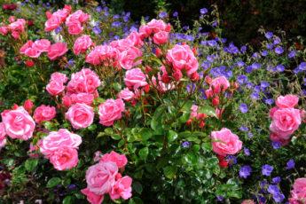 Что посадить рядом с розой: растения, которые подчеркнут красоту королевы сада