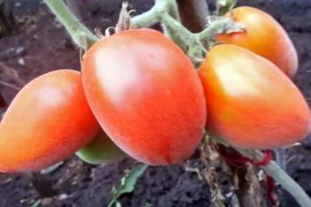 Пушистые сорта томатов – 7 вариантов для теплицы и открытого грунта
