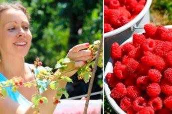 6 нехитрых правил, как сделать малинник плодоносящим и собирать ягоды ведрами