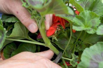 Как черенковать герань: простой способ размножения цветка