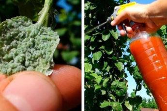 Бабушкино средство от тли — работает безотказно без вреда для растений