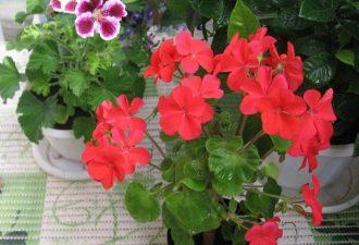 Чем подкормить герань для обильного цветения?