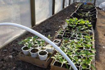 Полезная шпаргалка когда же высаживать рассаду в открытый грунт и теплицу. Универсальный совет для всех регионов