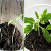 Что делать, если рассада помидоров вытянулась: 4 шага к крепкой коренастой рассаде