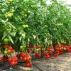 Волшебный бальзам для помидоров: развожу один стакан на ведро