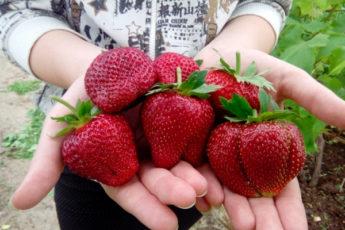Как правильно организовать молочную подкормку клубники, чтобы собирать крупные ягоды