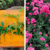 Летнее укоренение роз, гарантирующее 100 % результат