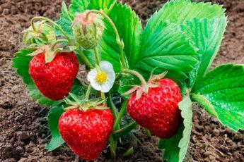 Для богатого урожая клубники на будущий год, правильно ухаживайте за кустами после плодоношения