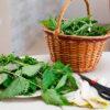Чем полезна крапива, и как правильно применять ее в саду и огороде