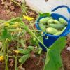 Для чего опытные дачники обрезают листья у огурцов