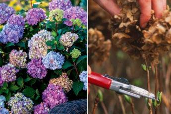 Правильная обрезка гортензий — секрет успешного цветения на будущий год