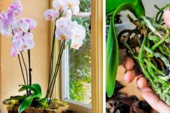 Три копеечных препарата, которые спасут орхидею и помогут ей нарастить корни