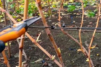 С такой обрезкой винограда урожай гарантирован даже новичкам