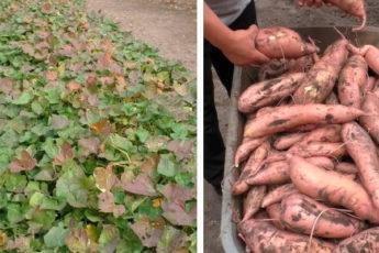 Хватит выращивать из года в год картофель. Есть Ему замена куда лучше