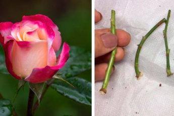 Тонкости осеннего черенкования роз: секреты отличного укоренения
